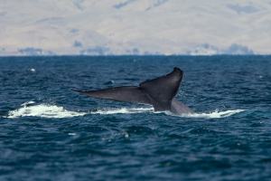 Blue whale tail fluke