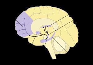 Dopamine pathways in the human brain