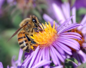 European_honey_bee_extracts_nectar