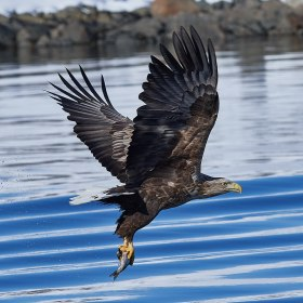 White_tailed_eagle_raftsund_square_crop