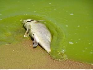 HAB dead fish