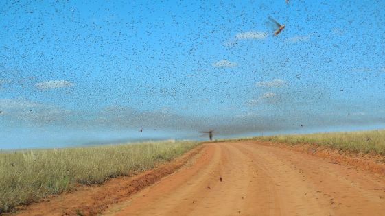 Swarm_of_Locusts