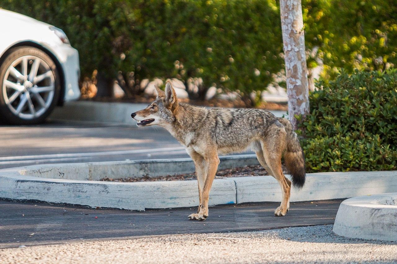 1280px-Urban_Coyotes_(35970298854)