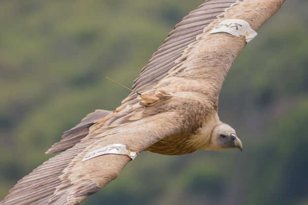 Griffon_vulture_at_Gamla_nature_reserve