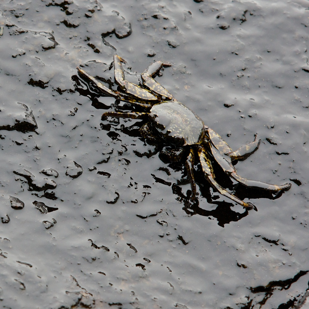 Crab and crude oil spill on the stone at the beach, focus on crab